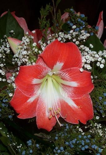 Daily photo - Amaryllis and Baby`s Breath